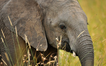 Finally, Some Good News for African Elephants