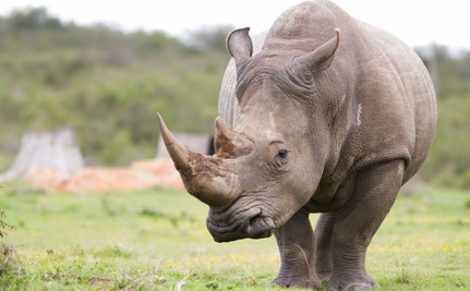 Fashion Gone Bad: Rhino Horn Jewelry is More Popular Than Ever