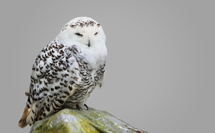 Victory! NYC Airports Stop Killing Snowy Owls