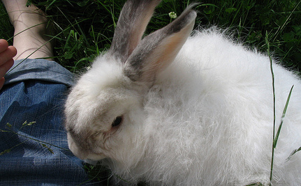 50 Million Angora Rabbits Savagely