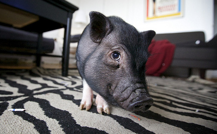There is No Such Thing as a Micro Pig