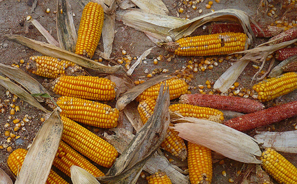 """Big Ag Says GMOs are """"Natural,"""" Wants to Be Able to Label Food That Way"""
