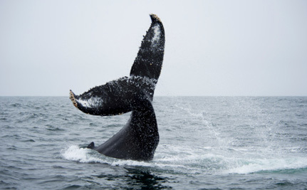 Australia Misses the Boat in the Fight Against Illegal Whaling