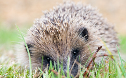 Surprising Number of Hedgehogs Born Late and Won't Survive This Winter