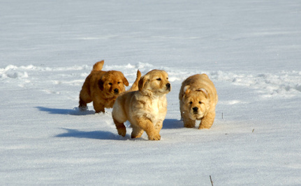 Daily Cute: Golden Retriever Pups Frolic in the Snow