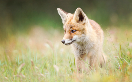Great Britain Won't Accept That People Are Against Fox Hunting With Dogs