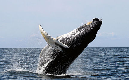 Should Humpback Whales Be Removed From the Endangered Spec
