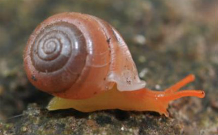 Predatory Snails Could Disappear Just Months After Being Discovered