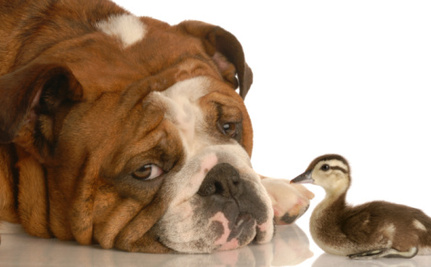 Daily Cute: Dog and Duck Play a Game of Fetch