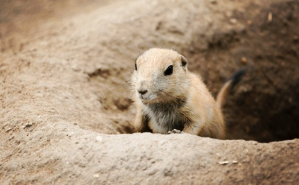 Thousands of Prairie Dogs in Danger of Being Poisoned