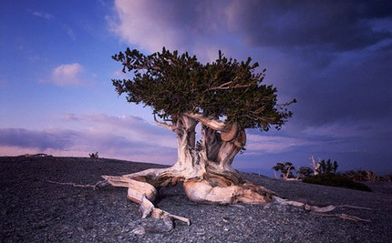 What Will the Fate Be for Bristlecones, the Oldest Trees on Earth?