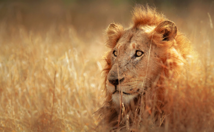 Extinction Imminent: West African Lions Are Critically Endangered