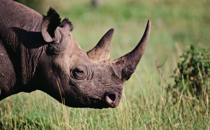 Chance to Kill a Rare Rhino Auctioned for $350,000
