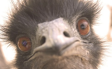 Why Was a Sanctuary Emu Shot Dead?