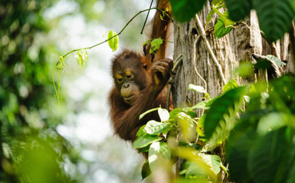 Palm Oil Company Gets What it Deserves for Destroying Orangutans' Home