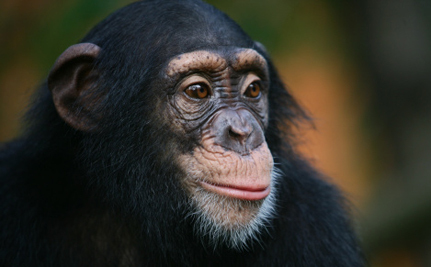 Zoo Admits Using Chimps in Tea Ads Was Wrong