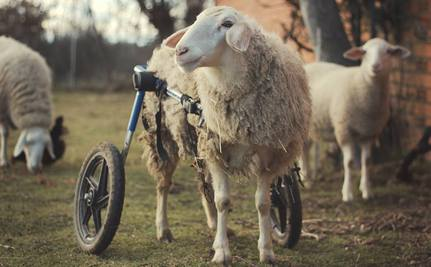 Patty the Disabled Sheep Gets a New Set of Wheels