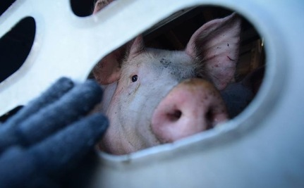 Thousands of Pigs Endure Hours of Brutal Cold En Route to Toronto Slaughterhouse
