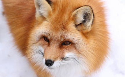 All of Washington, D.C. Wants a Glimpse of the Capitol Hill Fox