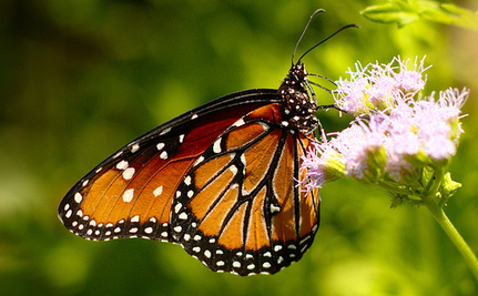 Why Has The Magnificent Monarch Butterfly Migration Slowed To A Trickle?