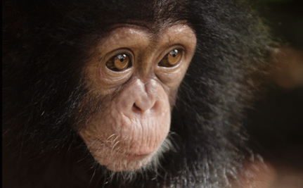 Victory! Pharmaceutical Giant Will Stop Experimenting on Chimpanzees