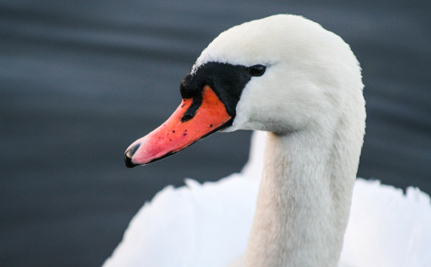 New York Wants to Kill All of its Mute Swans