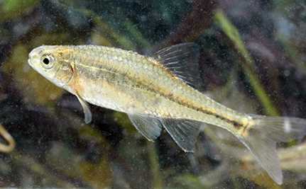 Meet the First Fish to Be Removed from the Endangered Species List
