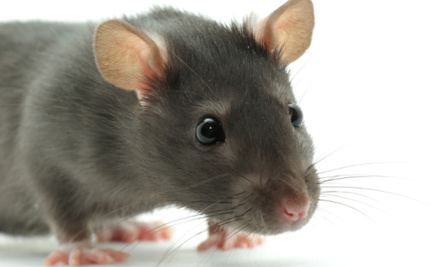 Gigantic Rats Will Rule the Earth When Other Animals Go Extinct, Says Scientist