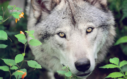 Will a New Report Help Keep Wolves Protected?