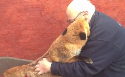 Daily Cute: This Sweet Rescued Fox Will Make Your Day