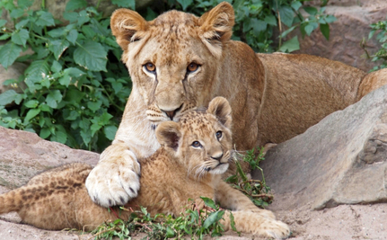 Why Did a British Safari Park Quietly Kill 2 Lions and 4 Cubs?