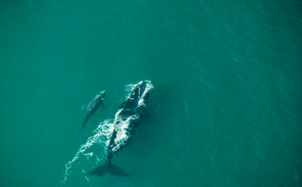 Scientists Learn to Count Whales from Space