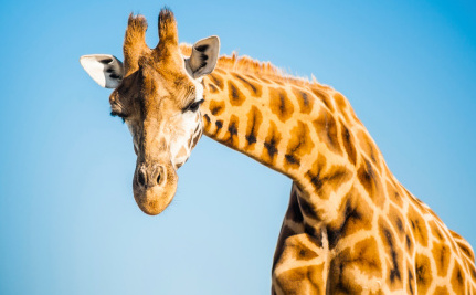 Seriously? Now Denmark May Kill Another Giraffe Named Marius