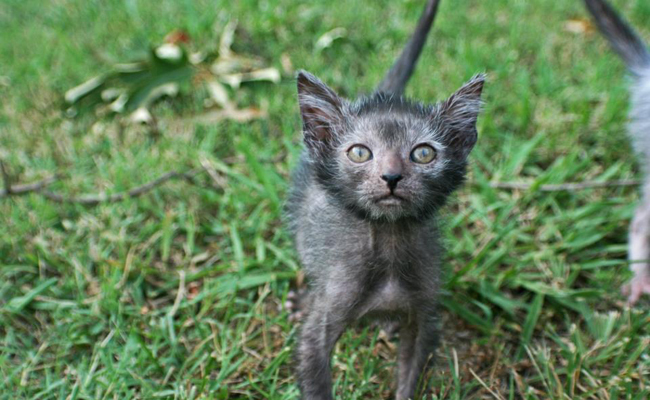 "The ""Werewolf Cat"" Is Everything That's Wrong With Designer Breeds"