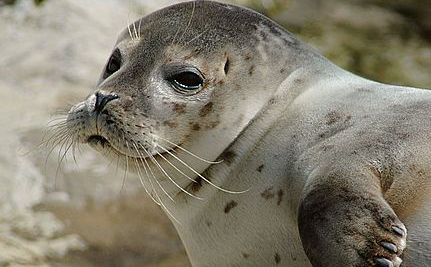 Fatal Seal Parasite Released By Melting Ice