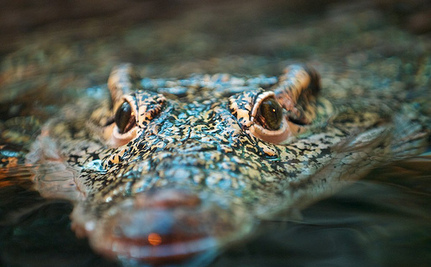 Time to Start Looking Up: Crocodiles Can Climb Trees