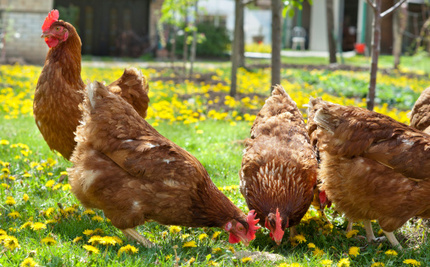Egg Farmers Caught Lying to Consumers About Hens' Lives