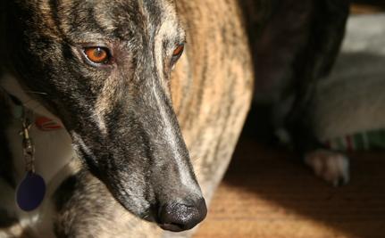 A Greyhound Dies Every 3 Days in Florida