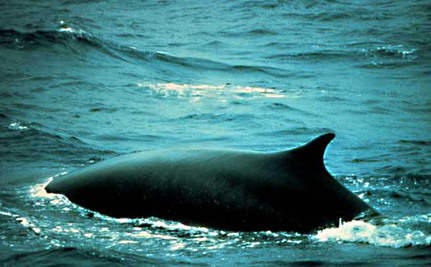 It's Time for Canada to Stop Transporting Endangered Fin Whale Meat