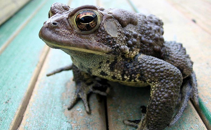Thousands of Toads Crossing the Road Saved by Volunteers Every Year