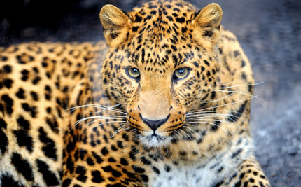 Zulu Leaders Sacrifice Ceremonial Furs to Protect Leopards