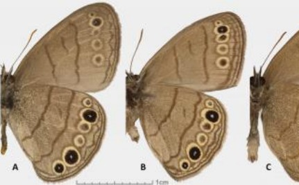 Two New Species of Butterfly Discovered in the United States