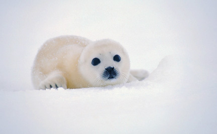 Canada Is About to Waste Serious Money on Seal Hunts