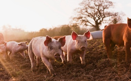 Daily Cute: Happy Pigs Run For Food