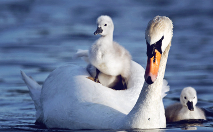 New York Backtracks on Plans to Eradicate Mute Swans