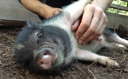 5 Ways Pigs Are Just as Cute as Your Cat or Dog