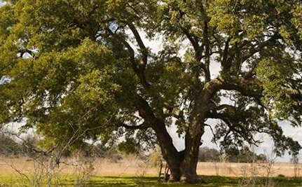 Success! Texas Won't Destroy Historic Oak Trees