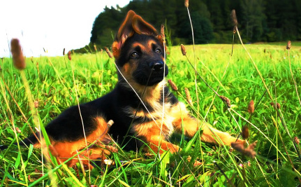 Daily Cute: Zoey the German Shepherd Pup Convinces Dad to Play