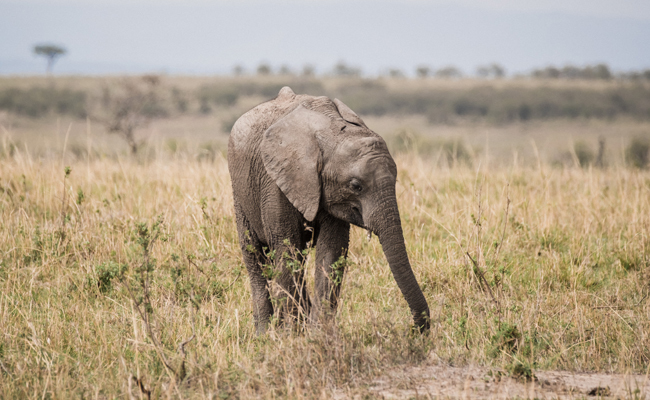 7 Amazing Facts About Elephants That Make Poaching Even Worse
