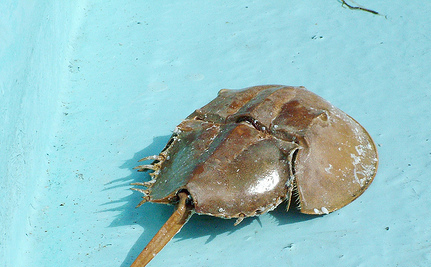 What the Heck is a Horseshoe Crab and How Has it Already Saved Your Life?